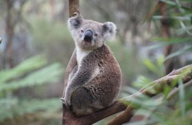 الكوالا مهدّد بالانقراض