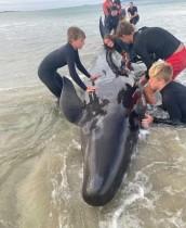 مجموعة من الأشخاص تساعد ويليامز، ونيك موبراي ، مؤسس زورو ، في إنقاذ حوت على الشاطئ في نيوزيلندا. رويترز
