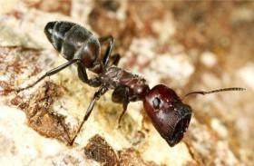 النمل ذكي في التعامل مع المخاطر
