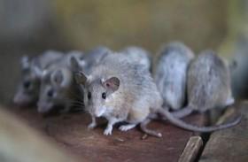 الفئران تستمتع بلعبة «الغميضة» مع البشر