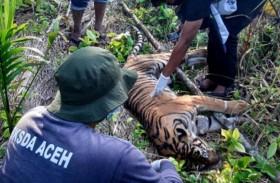 نفوق نمر نادر في إندونيسيا