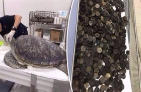 نفوق سلحفاة ابتلعت 915 عملة معدنية