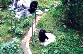 شمبانزي يغسل الملابس