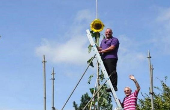 أطول نبتة دوار شمس في غينيس