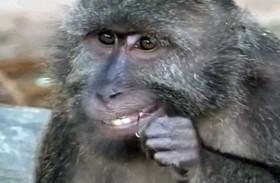 كيف تنظف القردة أسنانها؟