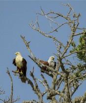 نسور تقف على أغصان الأشجار في حديقة يالا الوطنية ، على بعد حوالي 250 كيلومترًا جنوب غرب كولومبو.ا ف ب