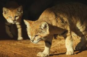 جهود حديقة الحيوانات بالعين في حماية القط الرملي العربي