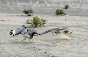 محمية المرزوم بأبوظبي تختتم موسمها للصيد التقليدي