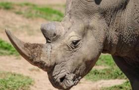 تسميم وحيد القرن.. حل مبتكر لإنقاذه !