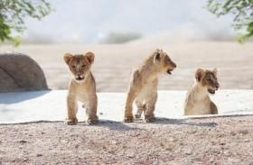 حديقة الحيوانات بالعين تعلن عن استقبالها لخمسة مواليد جدد من الأسود الأفريقية