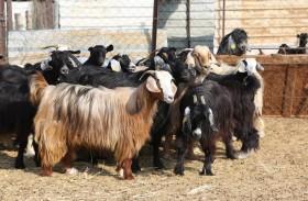 65.5 % من الحيوانات المذبوحة في مسالخ إمارة أبوظبي إنتاج محلي