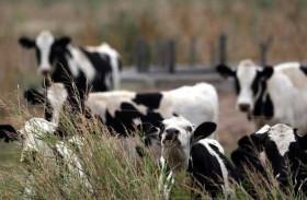 الأبقار ستكون أكبر الثدييات مستقبلاً