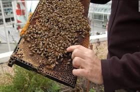 النحل ينتشر على مباني باريس