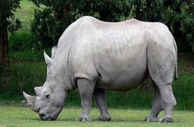 نفوق آخر ذكر من وحيد القرن الأبيض