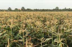 انطلاق موسم حصاد الذرة الحلوة في رأس الخيمة