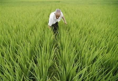 الاكتفاء الذاتي من الأرز يتجاوز 98 % في الصين