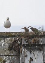 طائر النورس ترعى صغارها في عش على السطح، خلال قمة قادة مجموعة السبع في كورنوال بينزانس، بريطانيا. رويترز