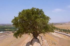 حمدان بن زايد يوجه بإكثار شجرة السرح المحلية المعمرة