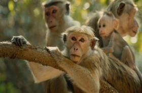 القرود تسرق منزلاً
