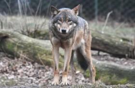 الذئب البري يعود بعد أكثر من قرن
