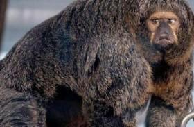القرد مفتول العضلات يجتاح الإنترنت
