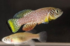 مفتاح علاج الشيخوخة في جنين سمكة إفريقية