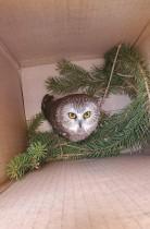 روكفلر ، بومة المنشار الشمالي ، تنظر إلى الأعلى من صندوق ، بعد العثور عليها وإنقاذها مع شجرة عيد الميلاد  في مركز روكفلر ، في نيويورك ، الولايات المتحدة.    رويترز