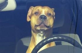 الشرطة تطارد كلباً يقود سيارة
