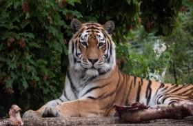 أنثى نمر تقتل حارستها أمام زوار  الحديقة