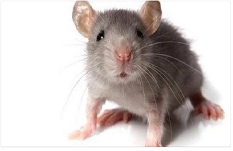فأر يتسبب بإصابة 81 مصلياً