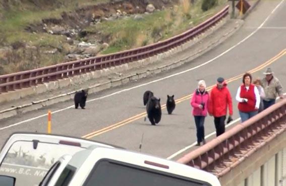 عائلة من الدببة تلاحق السياح
