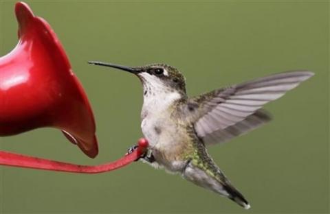 لسان الطائر الطنان  يعمل كما لو أنه مضخة صغيرة